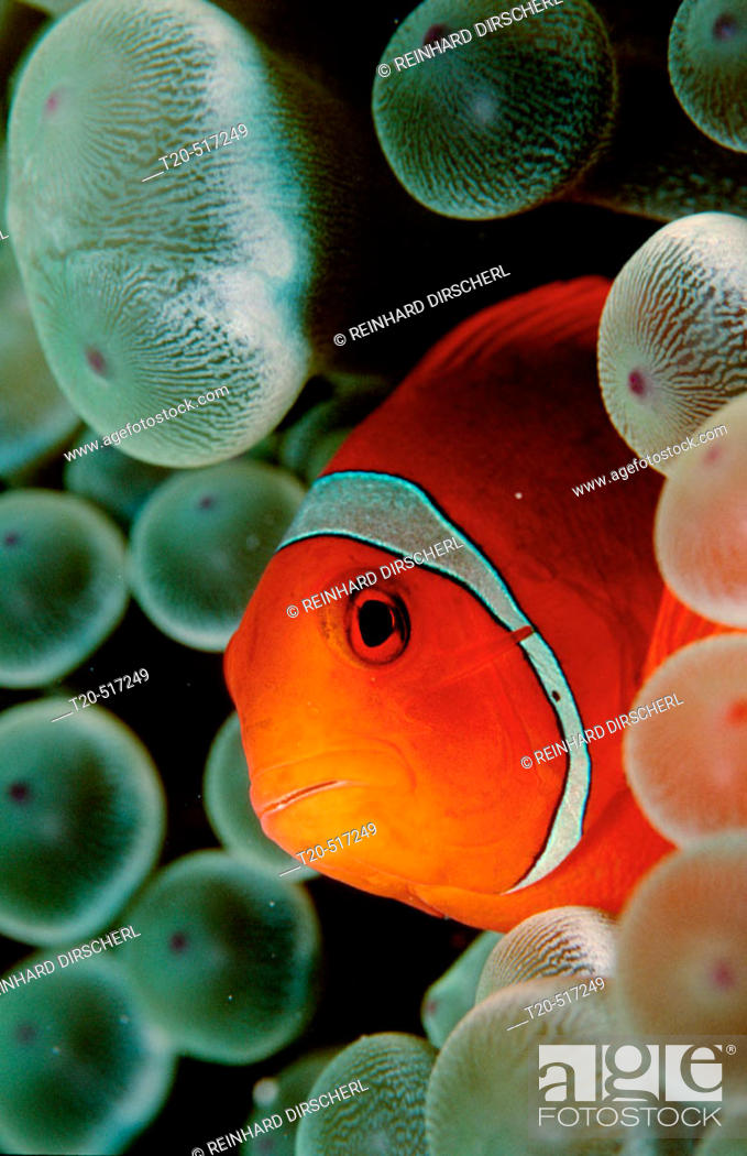 Stock Photo: Spinecheek clownfish, Premnas aculeatus, Micronesia, Pacific Ocean.