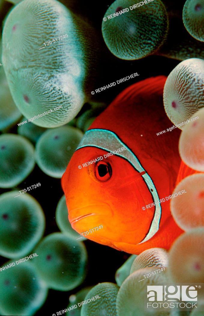 Stock Photo: Spinecheek clownfish, Premnas aculeatus, Micronesia, Pacific Ocean.