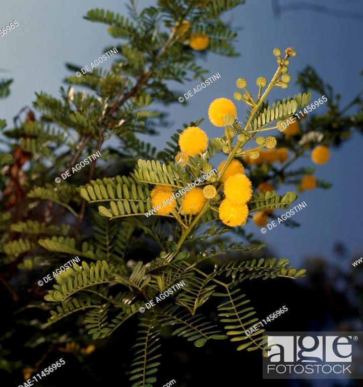 Sweet Thorn Or Karoo Thorn Acacia Karroo Fabaceae Stock Photo