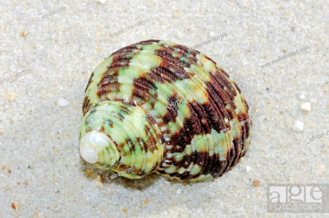 Stock Photo: Marbled turban, great green turban (Turbo marmoratus), found in the Indo-Pacific Ocean.