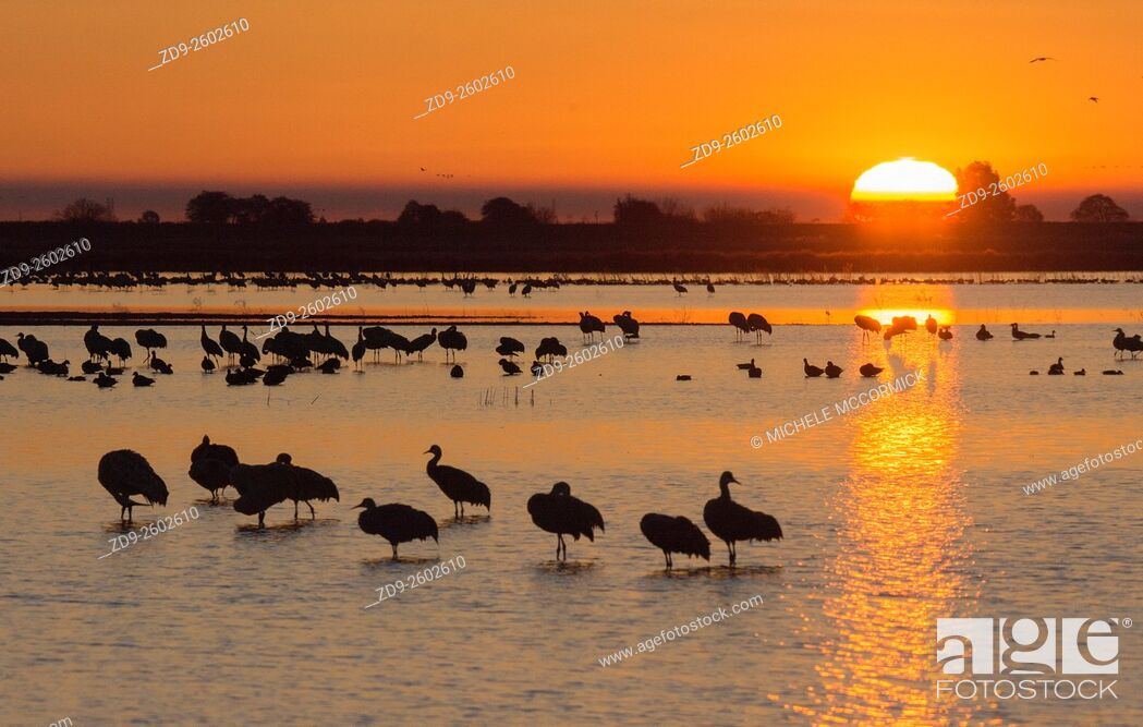 Stock Photo: Sandhill cranes at dawn.