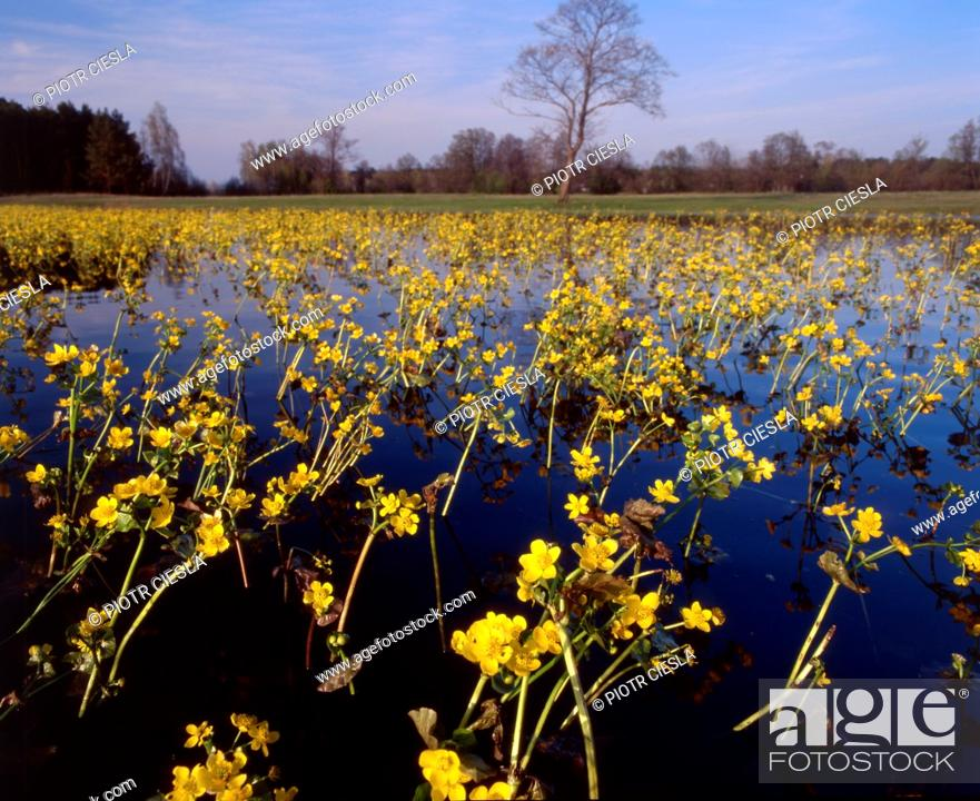 Stock Photo: Marsh marigolds in spring, Podlasie region, Poland.