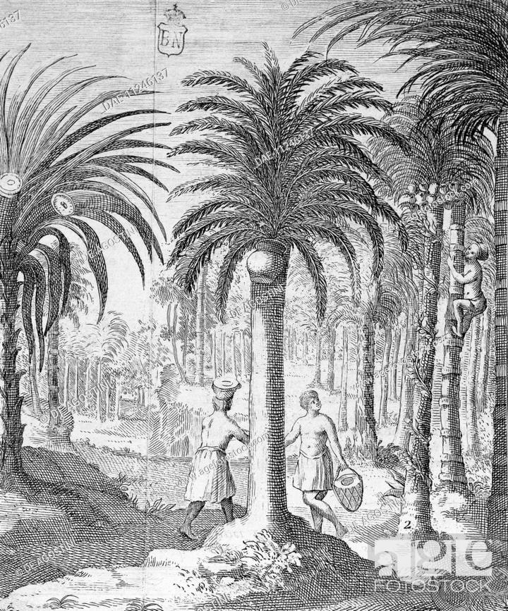 Stock Photo: Bethel and Arek plants, whose leaves and nuts are chewed by Indians, engraving, 18th century. Asia.  Madrid, Biblioteca Nacional (Library).