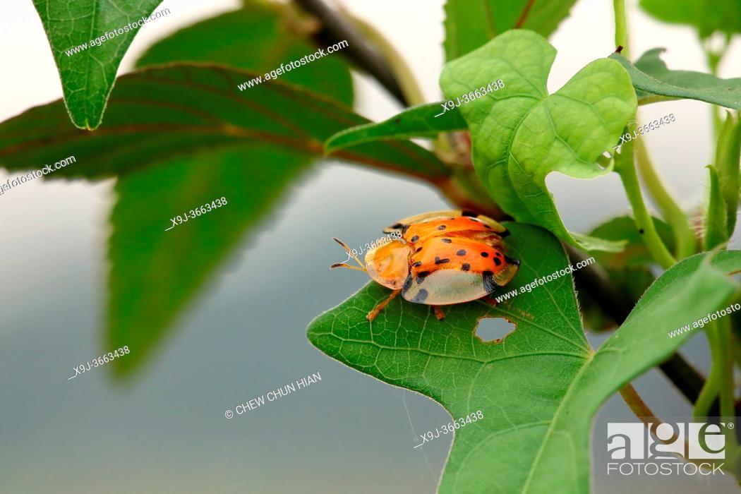 Stock Photo: Ladybird beetle, Coccinella transversalis, borneo.
