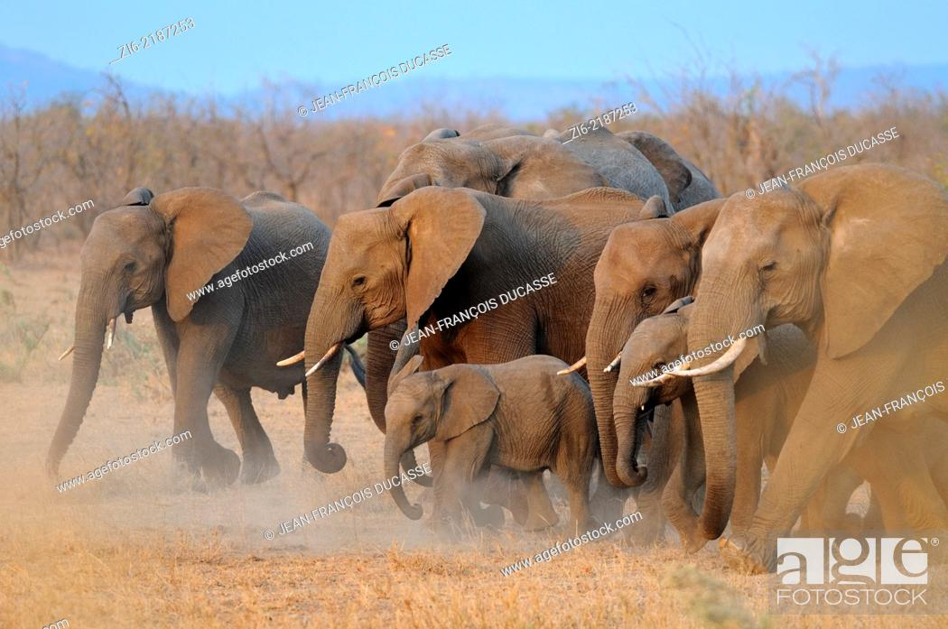 Stock Photo: African elephants, (Loxodonta africana), running, Kruger National Park, South Africa, Africa.