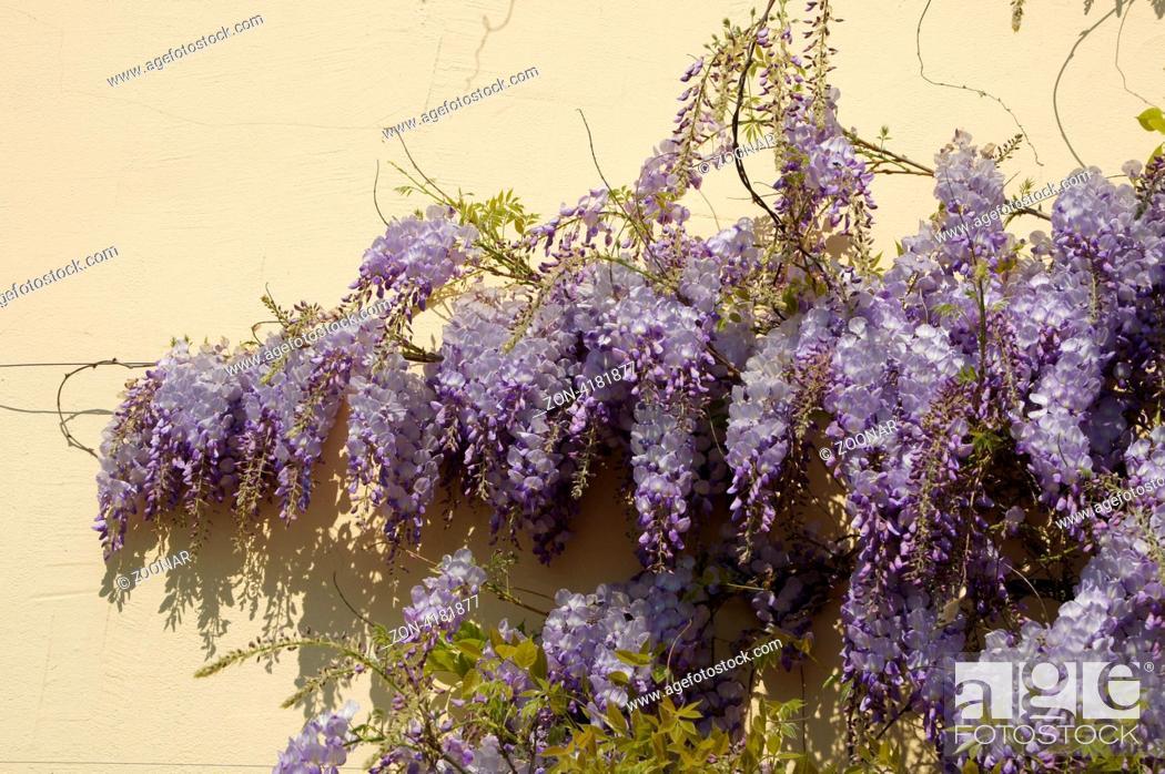 Stock Photo: Blütentrauben.