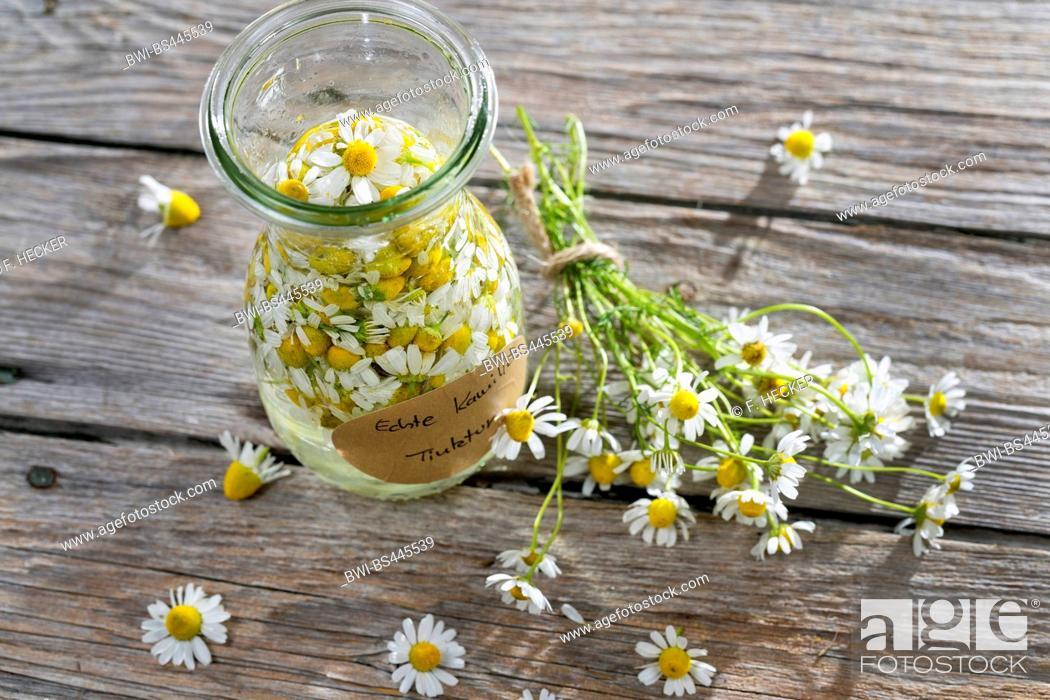 Stock Photo: scented mayweed, german chamomile, german mayweed (Matricaria chamomilla, Matricaria recutita), self-made production of alcoholic extract of chamomille, Germany.