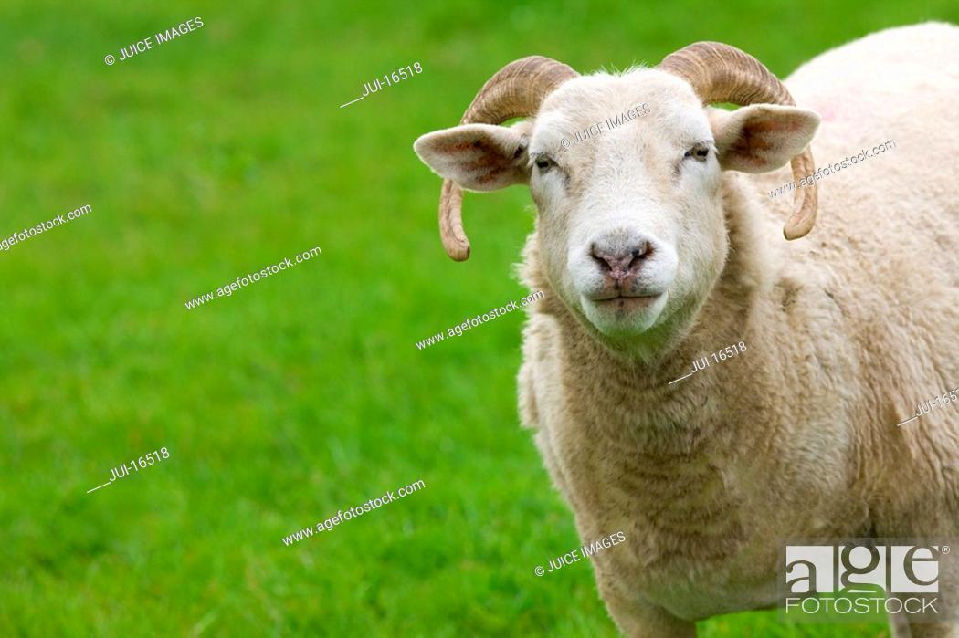 Stock Photo: Close up of ram looking at camera.