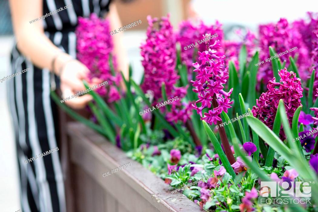 Stock Photo: Mid section of young woman's hand touching purple hyacinth in planter.