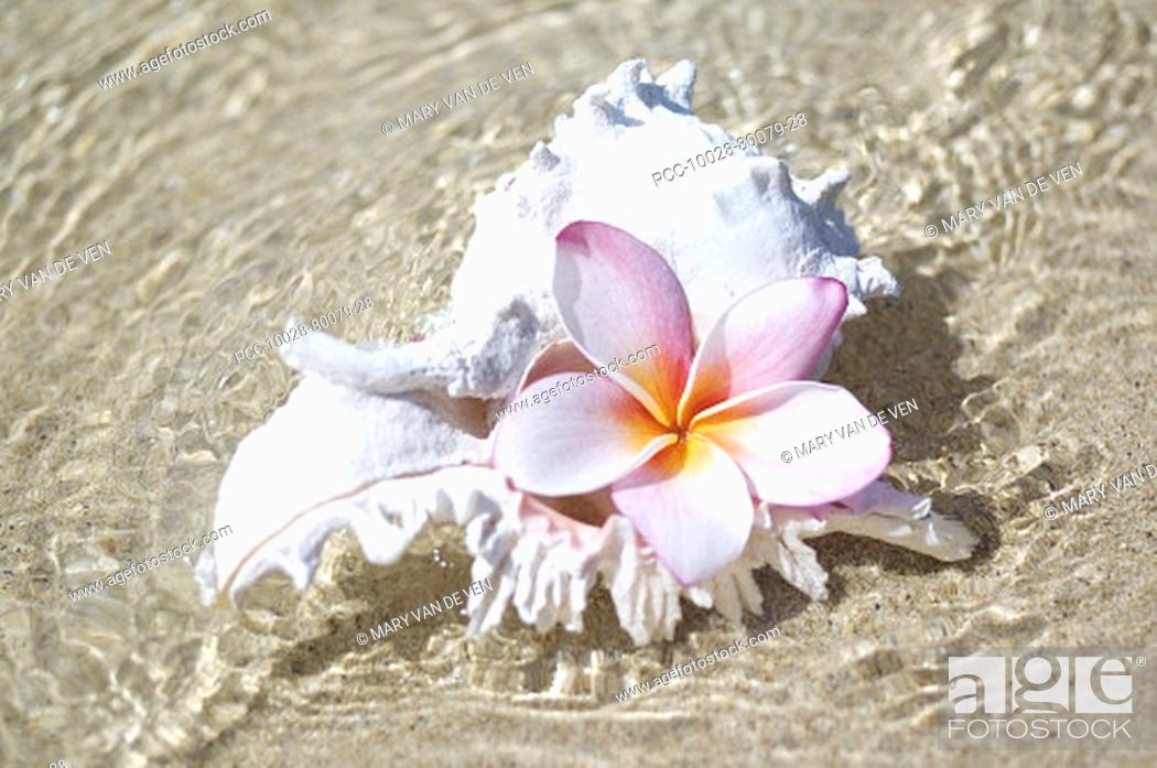 Stock Photo: White murex shell in shallow ocean water, with pink plumeria in opening.