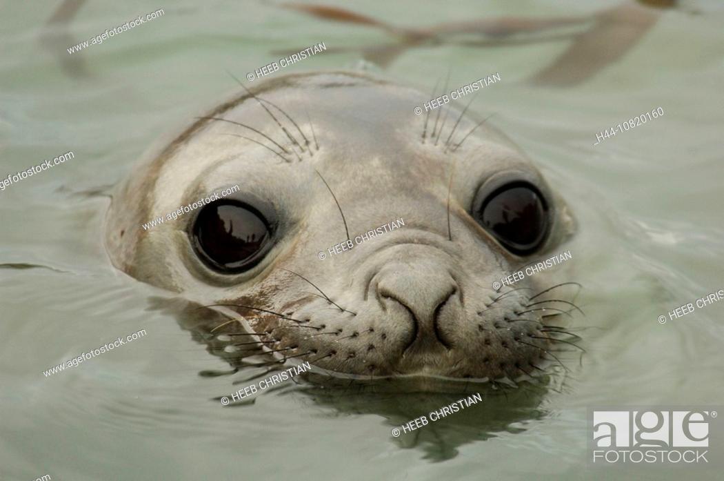 Imagen: Southern Elephant Seal, Mirounga leonina, Reserva Natural, reserve, seal, Turistica, Punta Delgado, preserve, Peninsul.