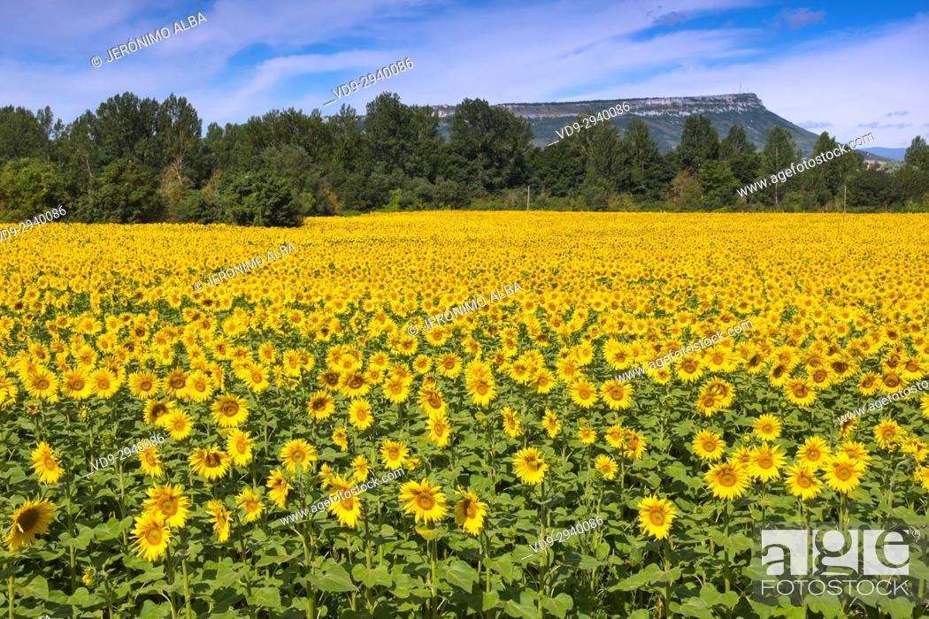 Stock Photo: Sunflowers field in summer. Las Merindades County Burgos, Castile and Leon, Spain, Europe.