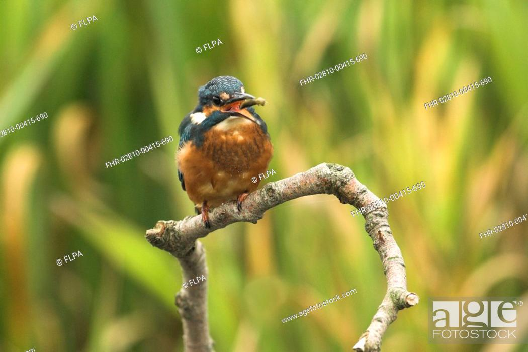Stock Photo: Common Kingfisher Alcedo atthis adult, perched beside river, hawker dragonfly larva in beak, Norfolk, England, october.
