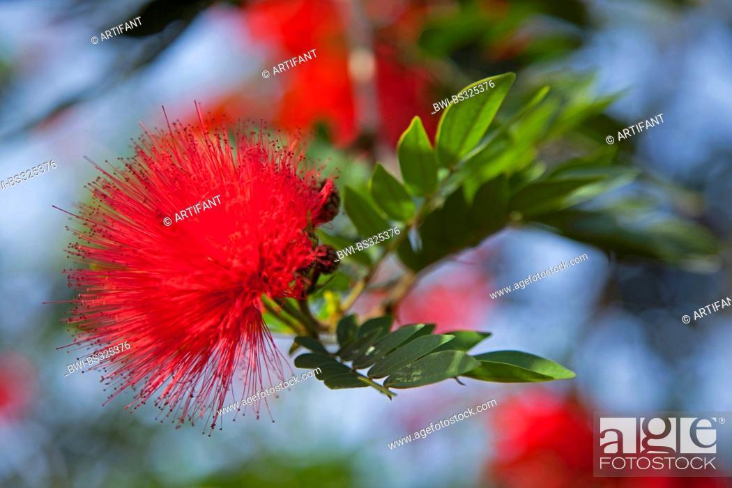 Stock Photo: powderpuff tree (Calliandra spec.), blooming, Rwanda, Eastern Province , Akagera National Park.