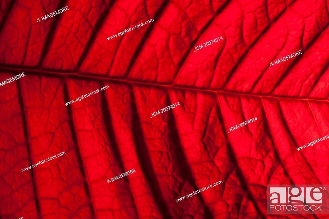 Stock Photo: Poinsettia leaf, close-up.