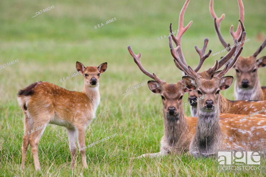 Stock Photo: Sika Deer (Cervus nippon). Introduced from the Far East to the UK around 1875 to Dorset.