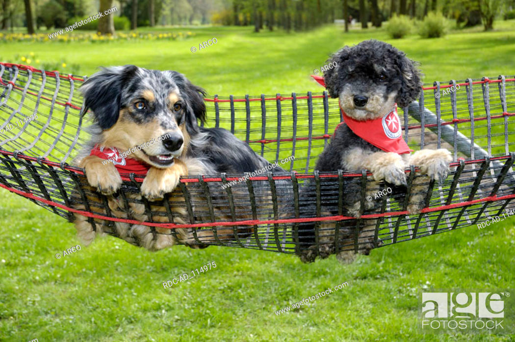 Rescue Dogs Australian Shepherd and Poodle Germany, Stock