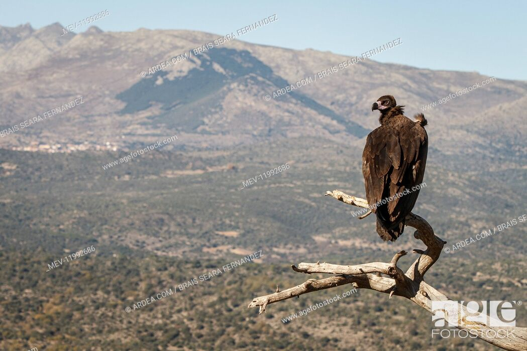 Stock Photo: Cinereous Vulture - perched on a branch - Castile and Leon, Spain,.