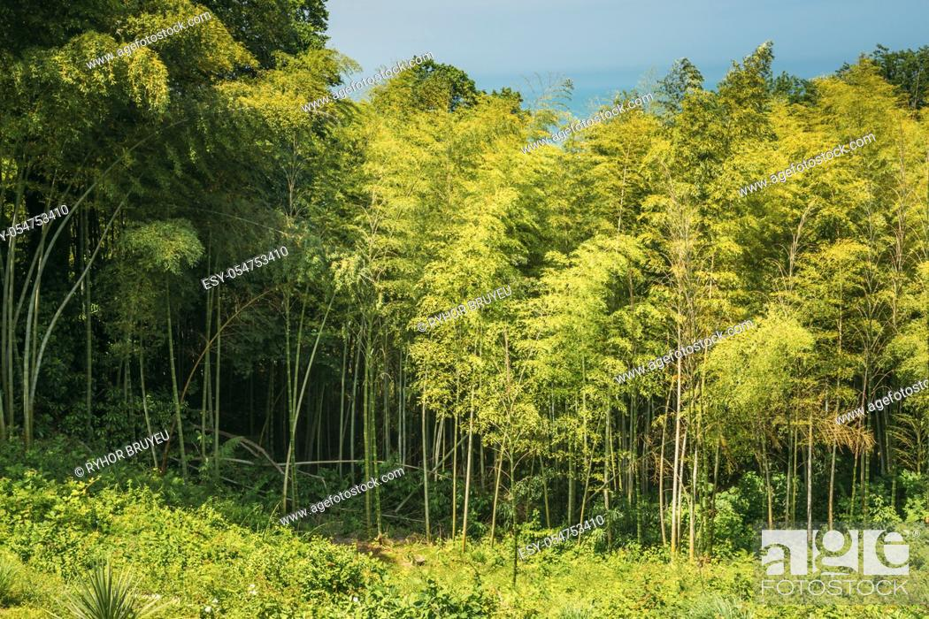 Stock Photo: Landscape With Spring Tall Trees Bamboo Woods Under Sunny Blue Sky. Tropical Forest, Summer Nature.