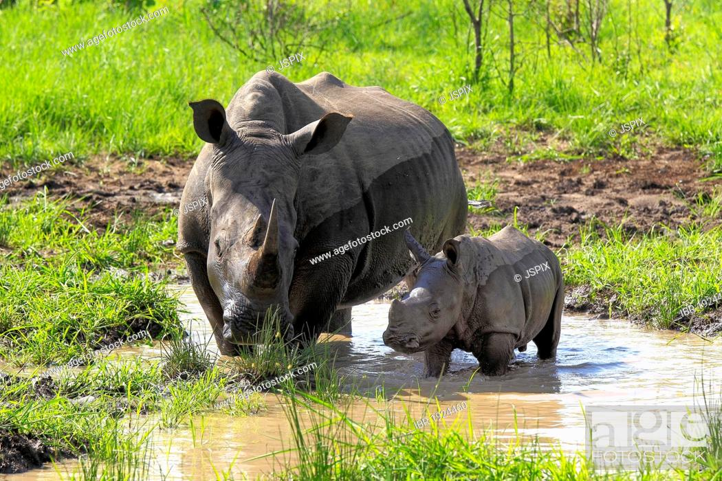 Stock Photo: White Rhinoceros or Square-lipped rhinoceros (Ceratotherium simum), female and calf drinking at water hole, Sabi Sabi Game Reserve, Kruger National Park.
