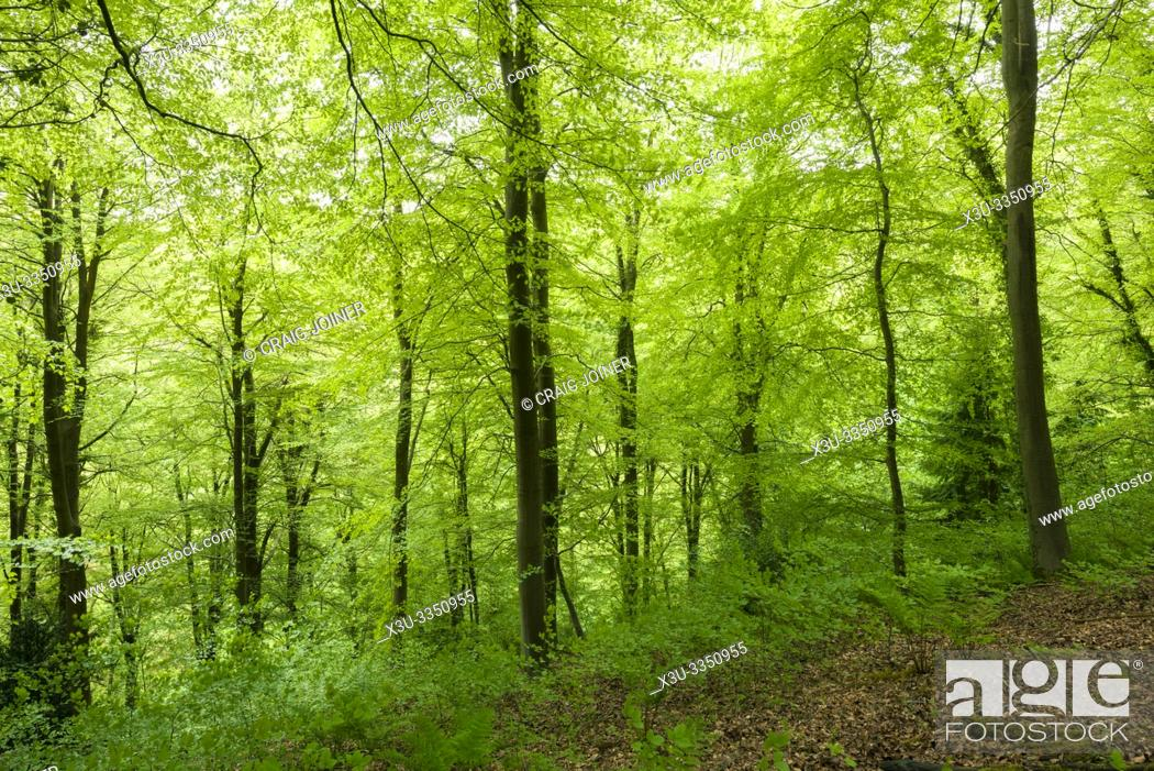 Stock Photo: A broadleaf woodland in spring at Leigh Woods near Bristol, North Somerset, England.