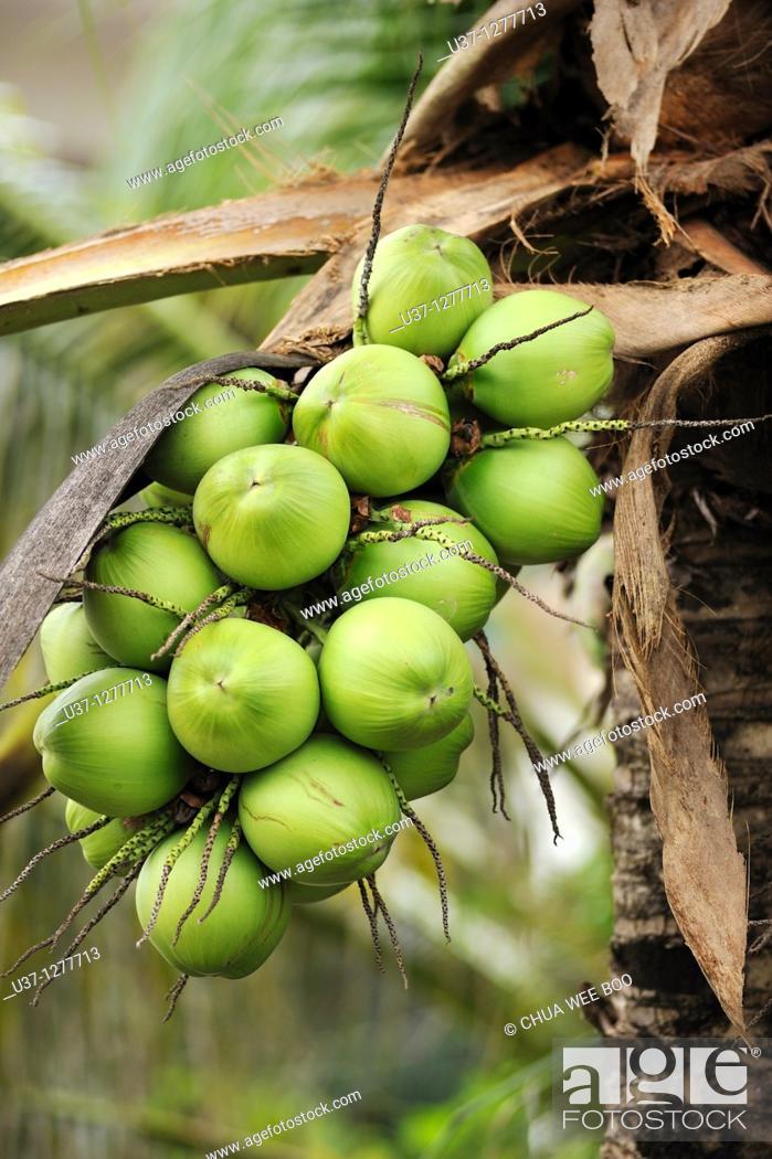 Stock Photo: Coconut trees, Kuching, Sarawak, Malaysia.