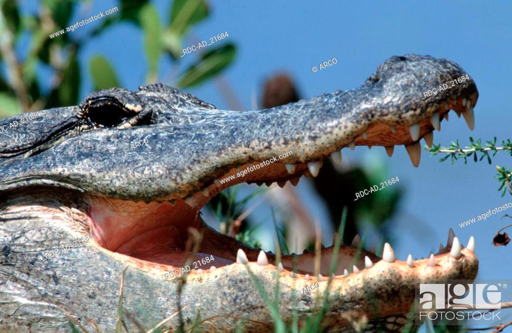 Stock Photo: American Alligator Everglades national park Florida USA Alligator mississippiensis.