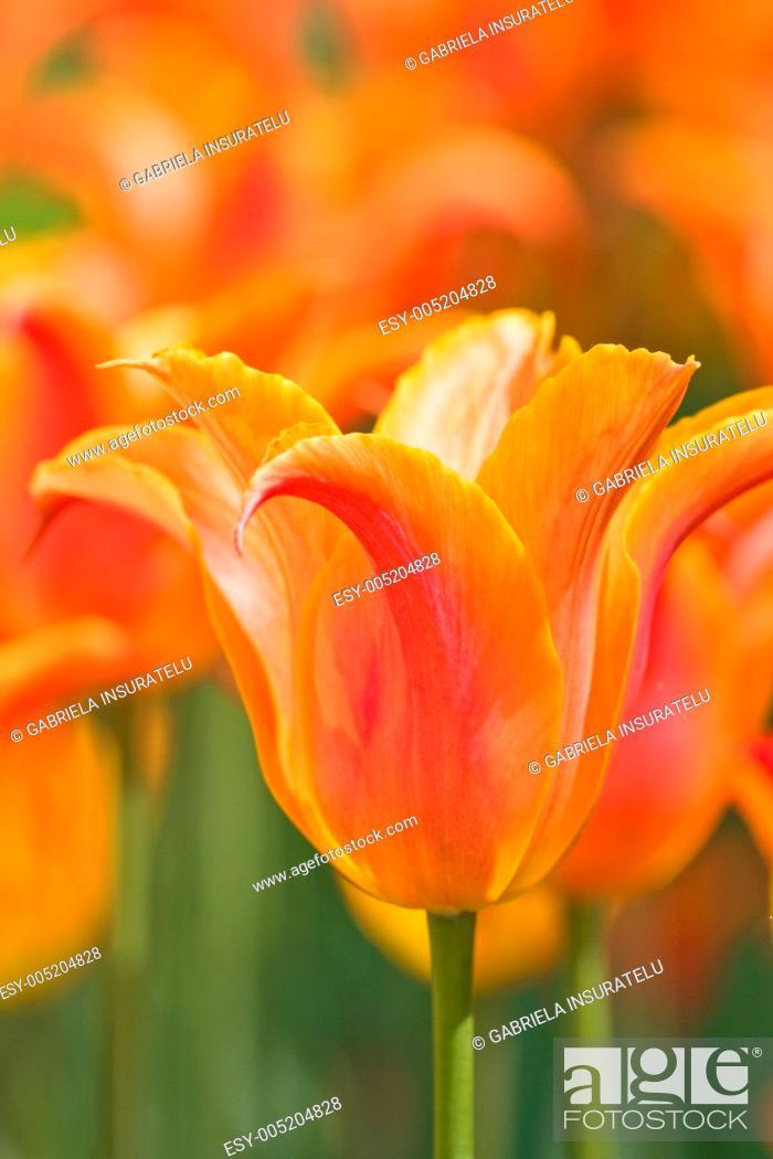 Stock Photo: Orange tulips.
