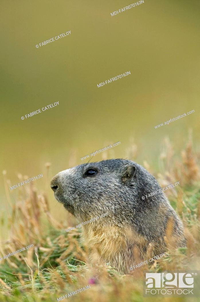 Stock Photo: Head of a marmot at the entry of its burrow in the natural regional park of Queyras.