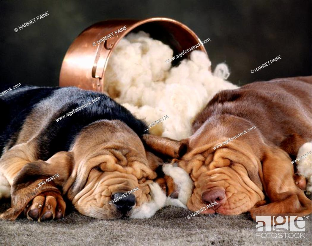 Stock Photo: Two Bloodhound puppies.