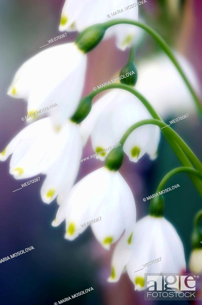 Stock Photo: Summer Snowflakes. Leucojum aestivum. March 2006, Maryland, USA.