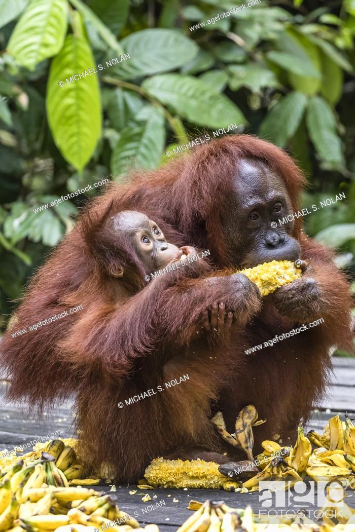 Stock Photo: Mother and baby Bornean orangutan, Pongo pygmaeus, at feeding platform Pondok Tanggui, Indonesia.
