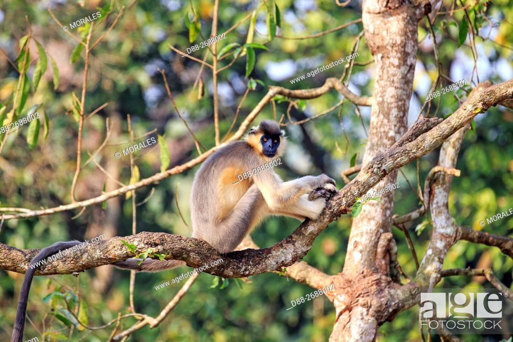 Stock Photo: South east Asia, India, Tripura state, Trishna wildlife sanctuary, Capped langur (Trachypithecus pileatus).