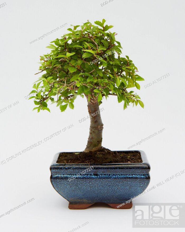 Imagen: Bonsai Ulmus Parvifolia (Chinese Elm).
