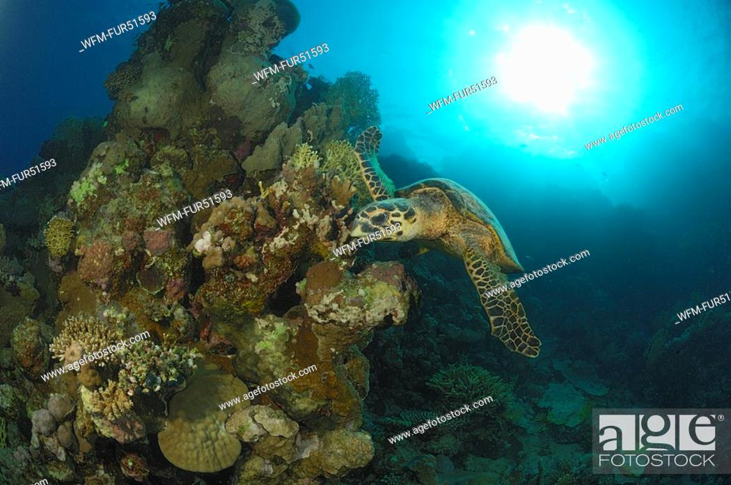 Stock Photo: Hawksbill Turtle and Reef, Eretmochelys imbricata, Fury Shoals, Marsa Alam, Red Sea, Egypt.