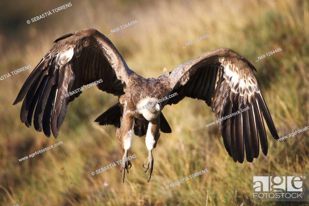 Stock Photo: Griffon Vulture Gyps fulvus flying, Lleida, Spain.