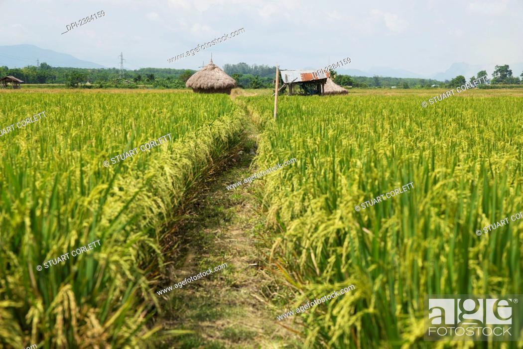 Stock Photo: A path through a rice field; Fang, Chiang Mai, Thailand.
