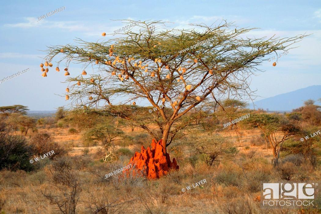Stock Photo: Umbrella Thorn Acacia, Umbrella Acacia (Acacia tortilis), landscape in Samburu with camel thorn, Kenya.