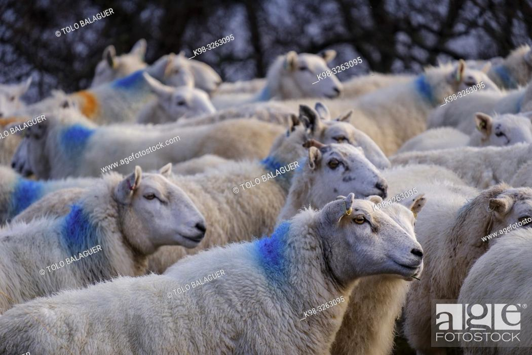 Stock Photo: flock of sheep, Skinidin, Loch Erghallan, Isle of Skye, Highlands, Scotland, United Kingdom.