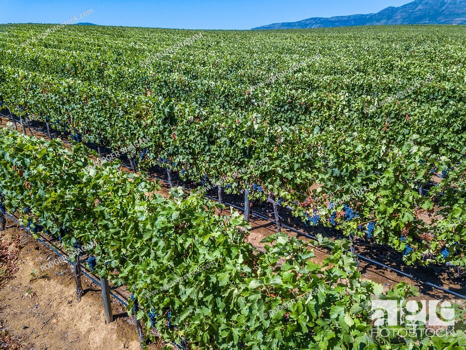 Stock Photo: Rows of grape vines in a vineyard almost readfy for harvest. Cape Town, South Africa.