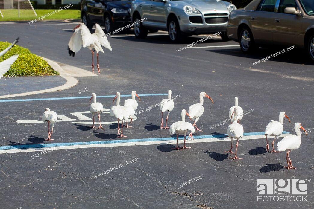 Stock Photo: Birds walking in parking lot.