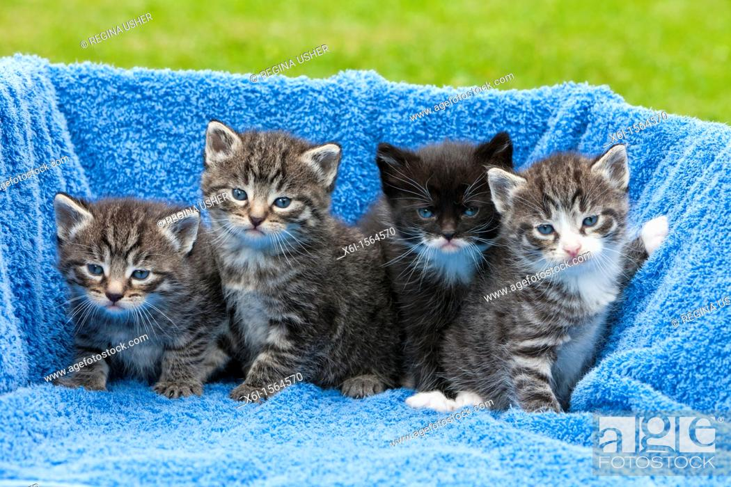Stock Photo: Kittens, four babies sitting together, Lower Saxony, Germany.