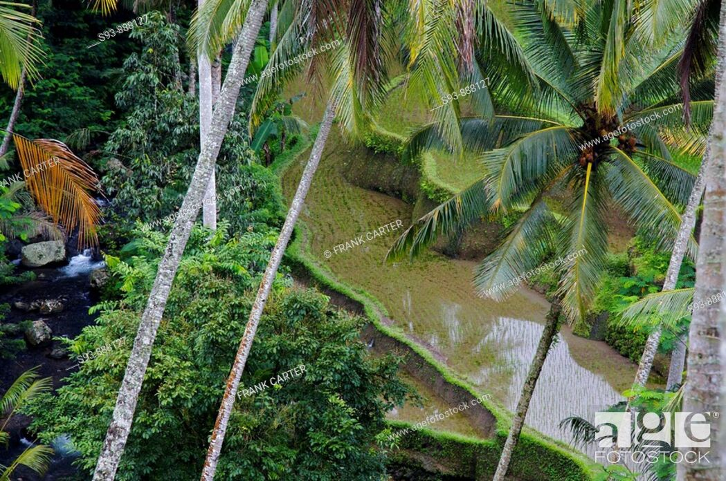 Stock Photo: A view of a river, coconut palms and just planted rice fields near Ubud, Bali.