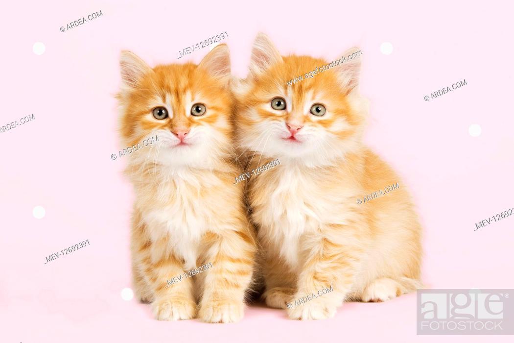 Stock Photo: Siberian Cat - kittens smiling - happy.