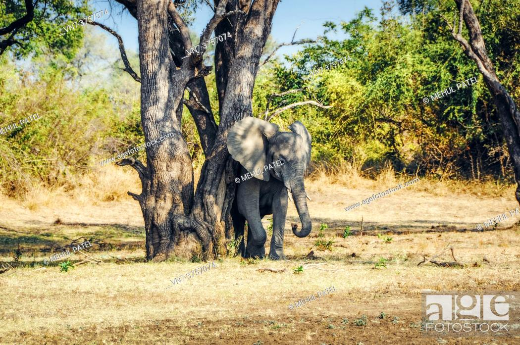 Stock Photo: Elephant rubbing its skin against tree in South Luangwa National Park, Zambia, Africa.