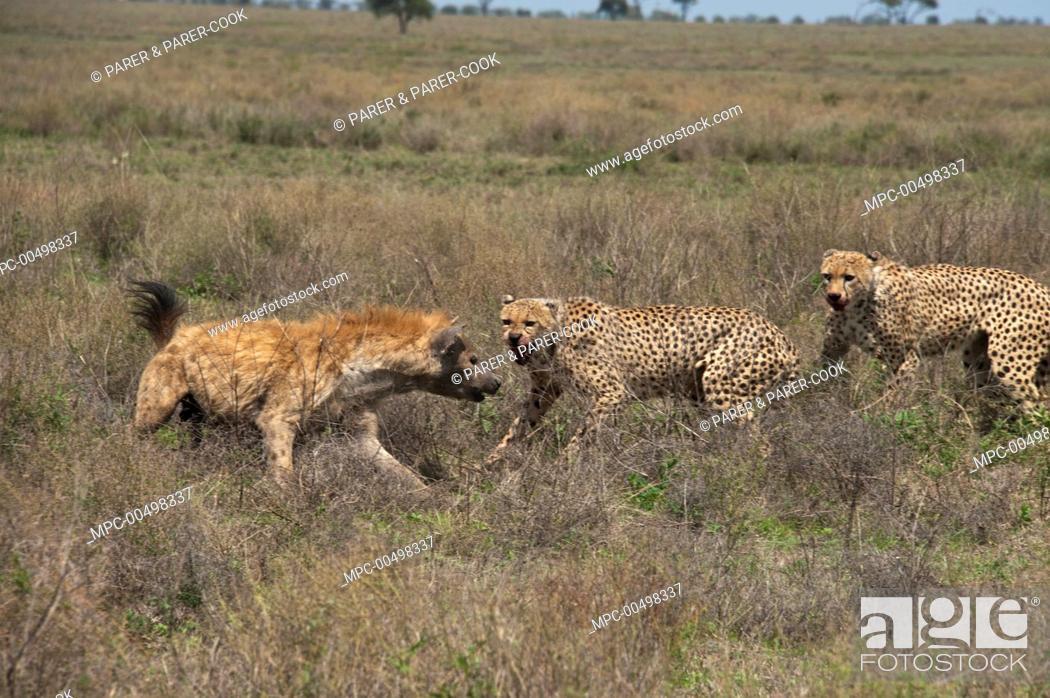 Stock Photo: Cheetah (Acinonyx jubatus) males facing off with Spotted Hyena (Crocuta crocuta) to protect their kill, Ngorongoro Conservation Area, Tanzania.