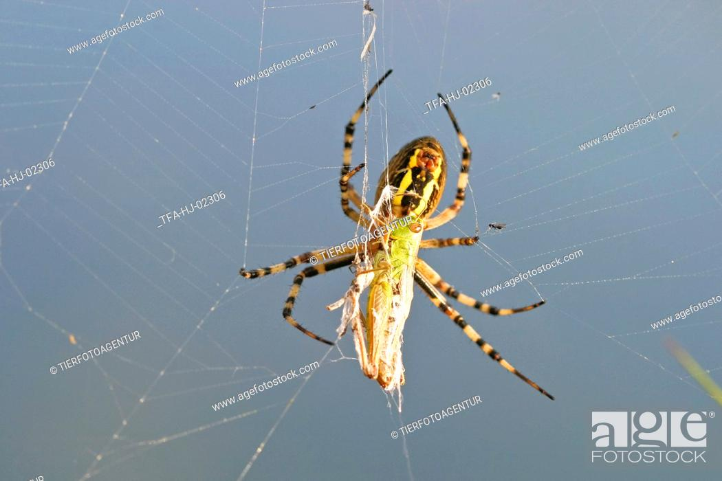 Stock Photo: Wasp spider.