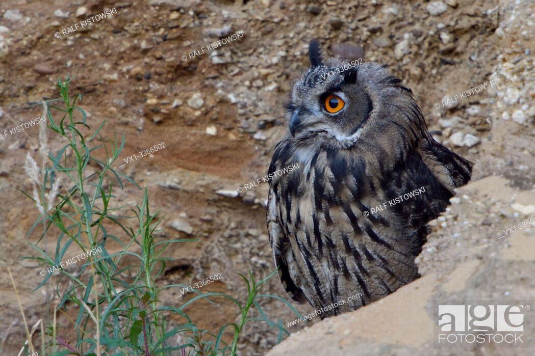 Stock Photo: Eurasian Eagle Owl / Europaeischer Uhu ( Bubo bubo ), young, hiding behind rocks, watching attentively, bright orange eyes, wildlife, Europe.
