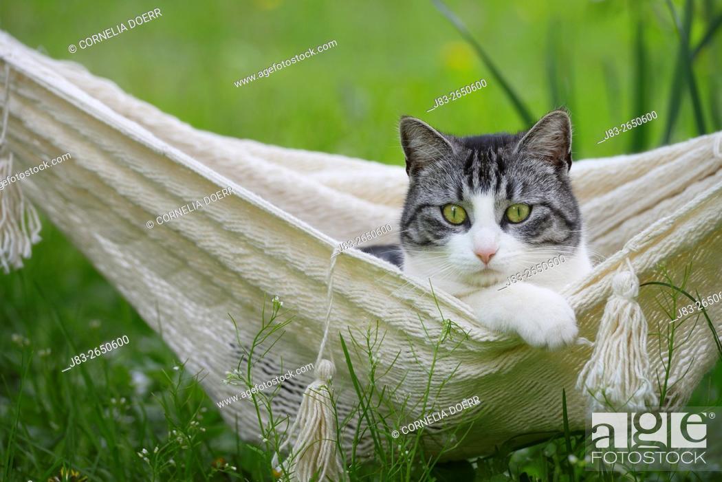 Stock Photo: Domestic cat in hammock in Spring.