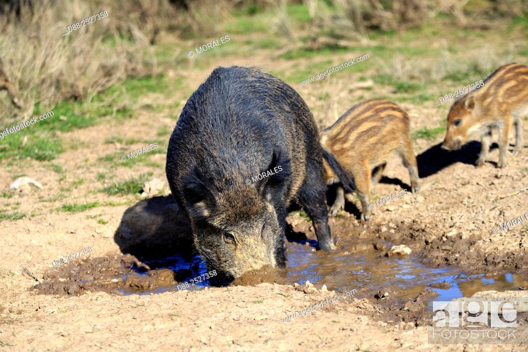Stock Photo: France, Haute Saone, Private park, Wild Boar Sus scrofa, sow with piglets drinking from a puddle.